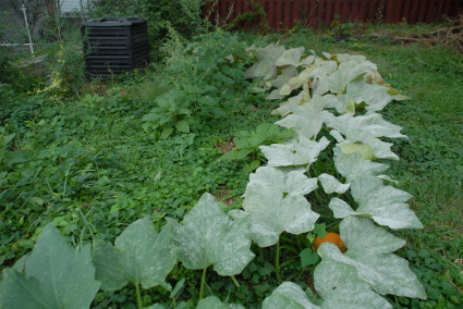 pumpkin vine in back yard
